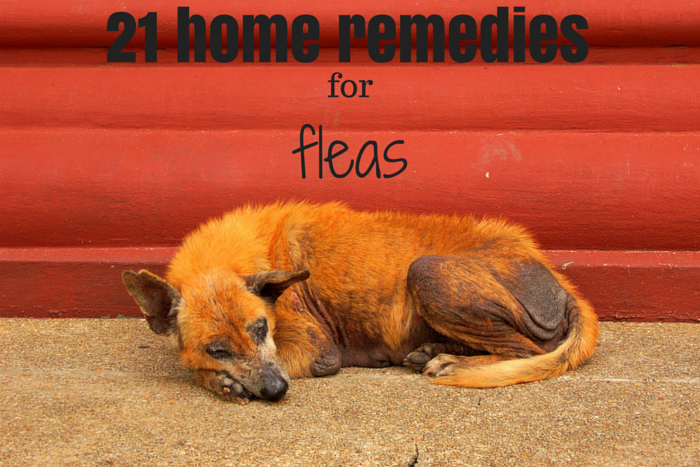at home remedies for fleas
