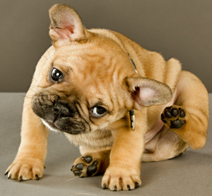 Home Remedies for Itchy Ears In Pets
