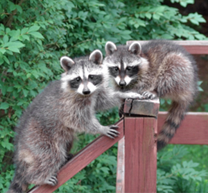 Home Remedies for Preventing Racoons in Yard
