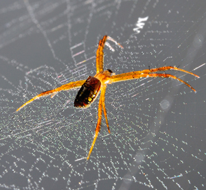 Home Remedies for Spiders at Home