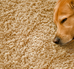 Home Remedies to Flea Proof a Carpet
