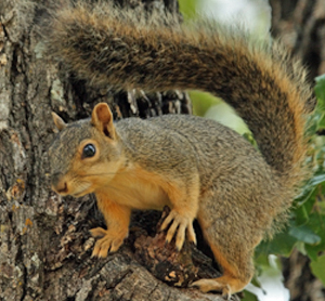 Home Remedies to Get Rid of Squirrels