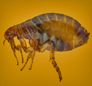 Home_Remedies_to_Get_Rid_of_Fleas_in_the_Yard