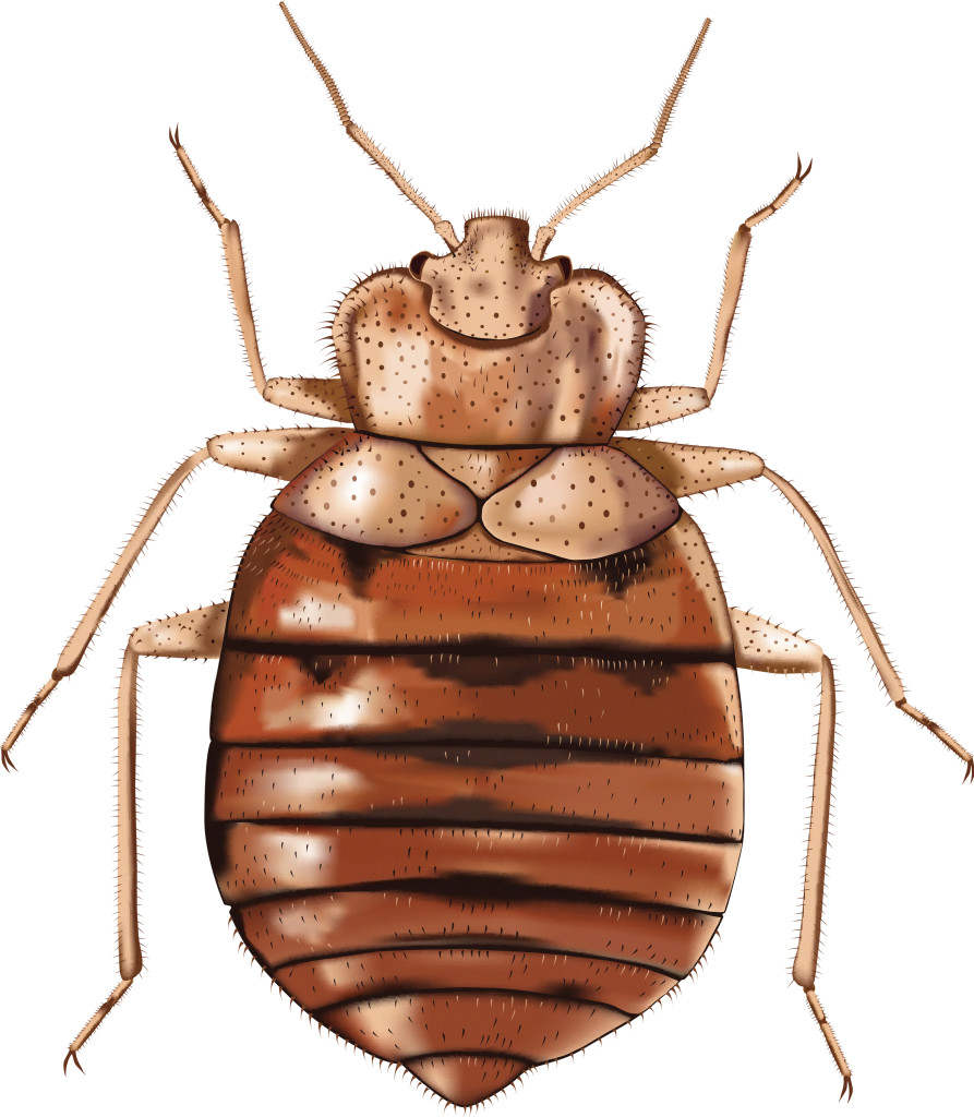 Small Brown Bugs In Bedroom Effective Home Remedies For Bed Bugs Full Guide