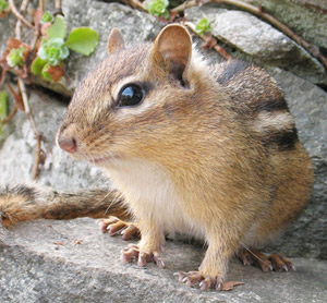 Chipmunk Home Remedies