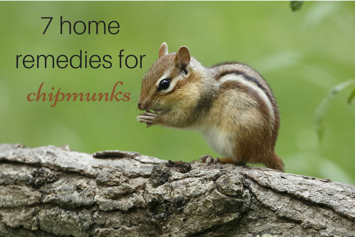 Home Remedies For Chipmunks