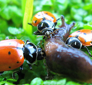 garden lady bugs and slug