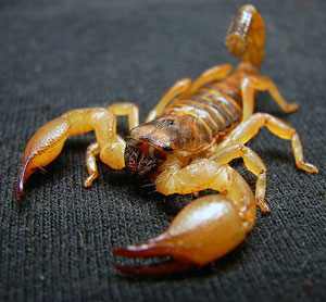 Home Remedies for Scorpion Bites