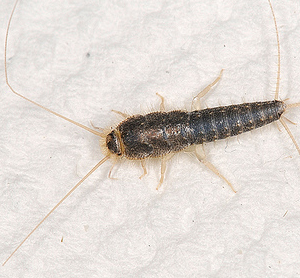 Home Remedies For Silverfish